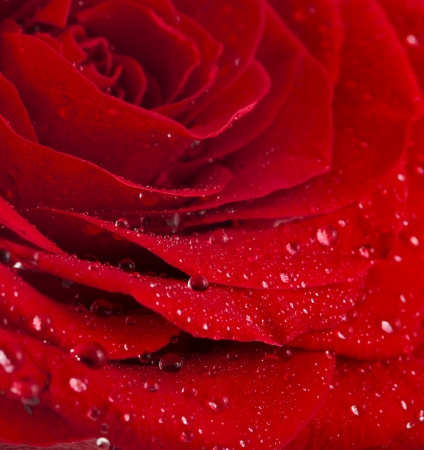 One single red rose bud close up macro shot with water drops photo