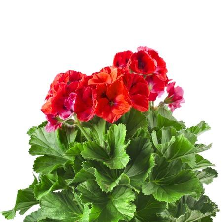 Red geranium flower isolated on white background photo