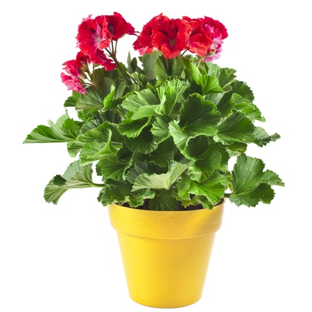 Red geranium flower in a yellow plastic pot isolated on white background photo
