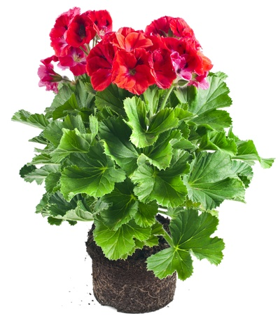 Red geranium flower in soil flowerpot isolated on white background photo