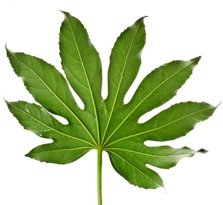 aralia: Big Leaf Japanese Aralia Fatsia japonia isolated on a white background