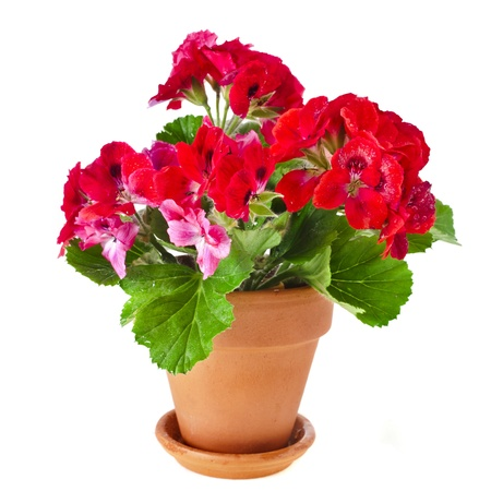 pelargonium: Red geranium flower in a clay pot isolated on white background