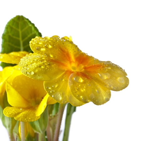 primula: Yellow blossom of primula flower with water drops close up, isolated on white background