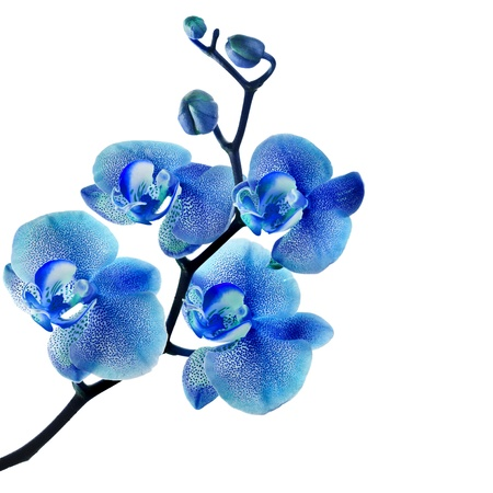 orchid branch: Blue orchid isolated on white background