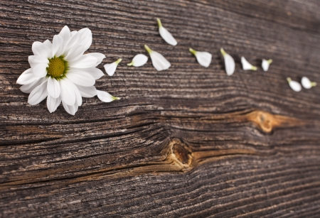 Beauty blossom of daisy on wooden surface background photo