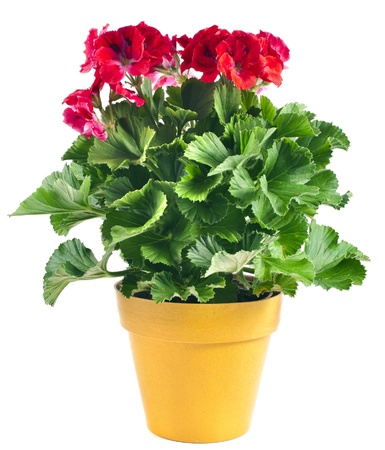 geranium: Red geranium flower in a yellow plastic pot isolated on white background