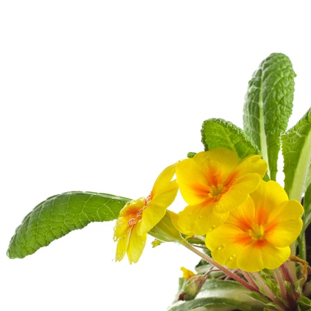 Yellow blossom of primula flower with water drops close up, isolated on white background photo