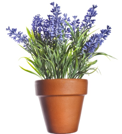 Lavender plant in pottery terracotta clay pot isolated on white background Stock Photo