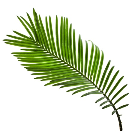 foliage frond: Single Green leaf of palm tree isolate on white background