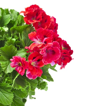 geranium: Red geranium flower border close up isolated on white background