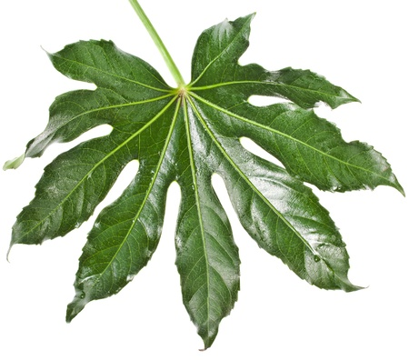 aralia: One Leaf Fatsia japonica isolated on a white background