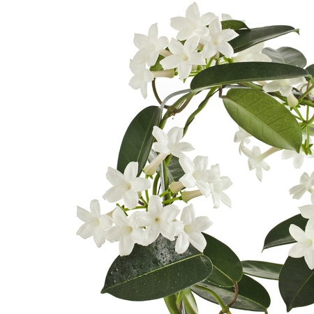Jasmine Stephanotis plant isolated on a white background photo