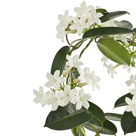 jasmine flower: Jasmine Stephanotis plant isolated on a white background