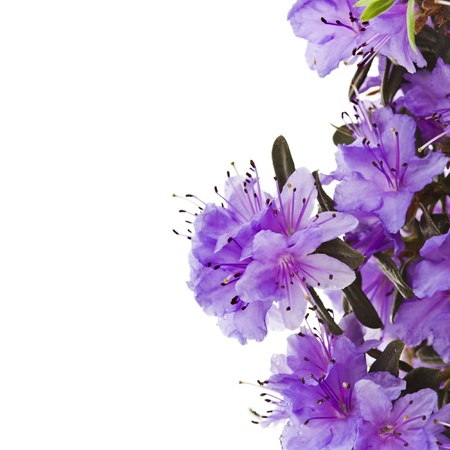 lavender bushes: Border of Blooming Rhododendron  Azalea  close-up isolated on a white background