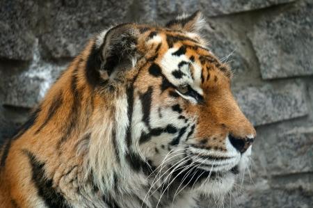 primer plano cara: Cara del tigre de cerca
