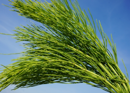 horsetail:     Horsetail  Equisetum  healing plant bunch on blue sky in a sunny summer day