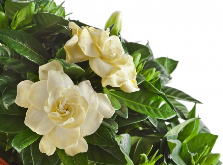 gardenia plant close up isolated on white background