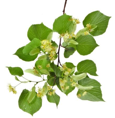 tilo: rama de tilo con flores aisladas sobre fondo blanco