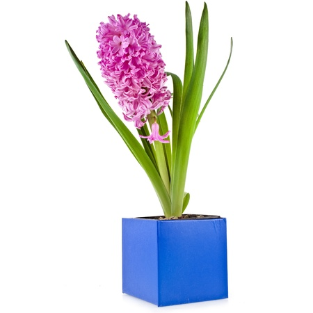 hyacinth bloom bouquet in blue gift box isolated on white background photo