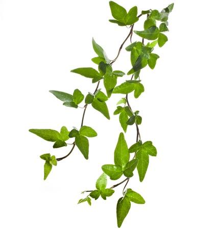 vid: Hiedra verde cerca aisladas sobre fondo blanco Foto de archivo
