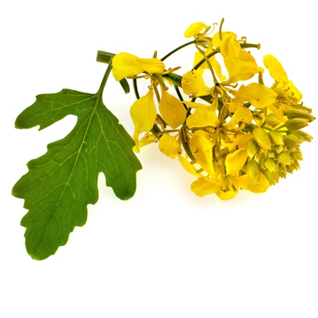 mustard plant: flowering mustard plant close up isolated on white background