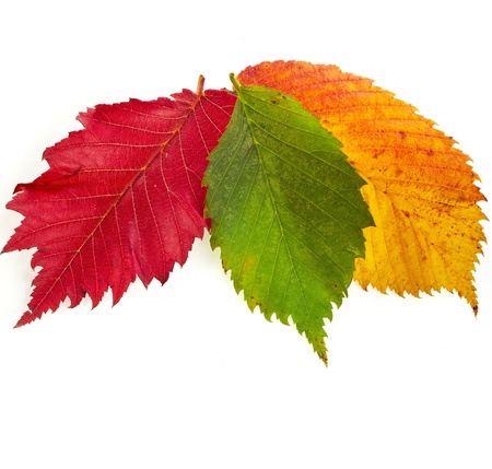 colored autumn fall leaves isolated on white background photo