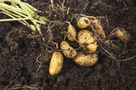 group of plants: fresh potato vegetable with tubers in soil dirt surface background