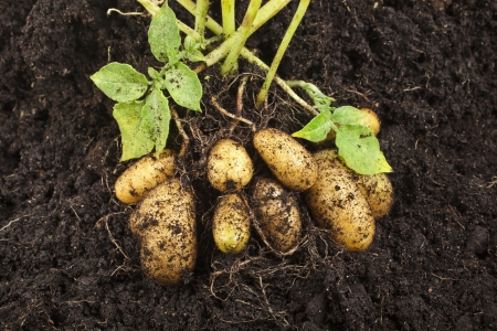 potato leaves: potato field vegetable with tubers in soil dirt surface background
