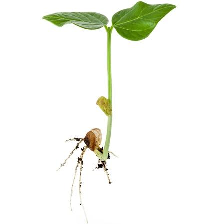 germinación: germinar brotes de soja aisladas sobre fondo blanco Foto de archivo