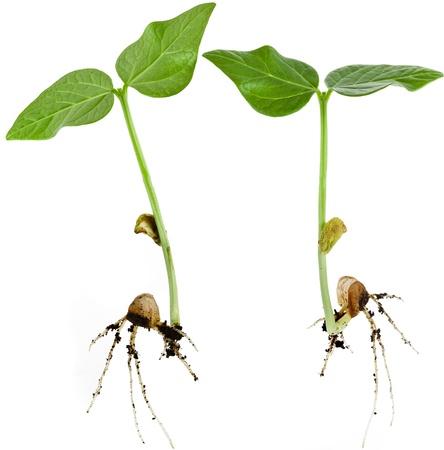 germinación: brotes de soja germinados de cerca macro aislado en fondo blanco Foto de archivo