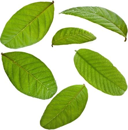 guayaba: hojas de guayaba estableció cerca de macro aislados en fondo blanco Foto de archivo
