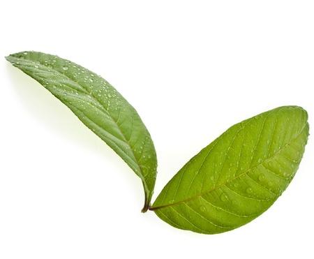 guayaba: hojas de guayabo cerca macro aislados en blanco