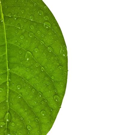 leaf vein: Border of green leaf with water drops close up isolated on a white