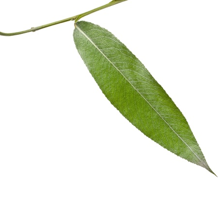weeping willow: One green leaf of silver weeping willow isolated on white background Stock Photo