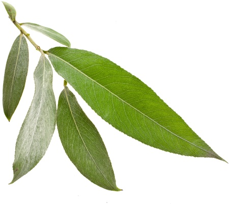 Willow silver weeping tree leaves isolated on white background