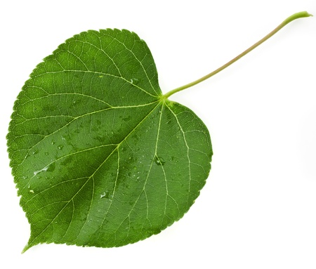 linden: Green leaf linden tree shape heart isolated on white background
