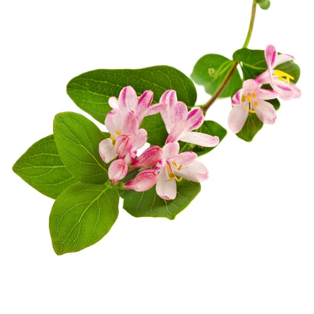 honeysuckle: Pink honeysuckle in blossom  Lonicera tatarica   on white background