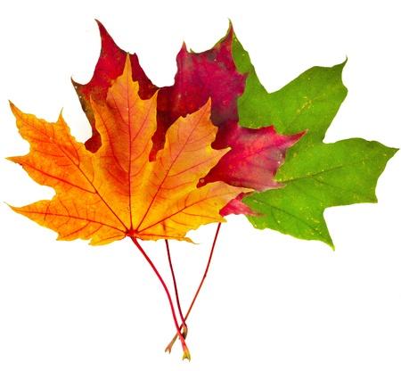 hojas secas: ca?da colorido del oto?o las hojas de arce aisladas sobre fondo blanco Foto de archivo