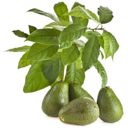 Avocado fruit tree isolated on white photo