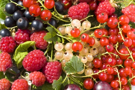 grosella: fondo de frutas rojas maduras