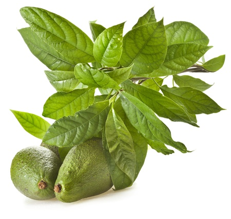 hass: Avocado fruit tree isolated on white