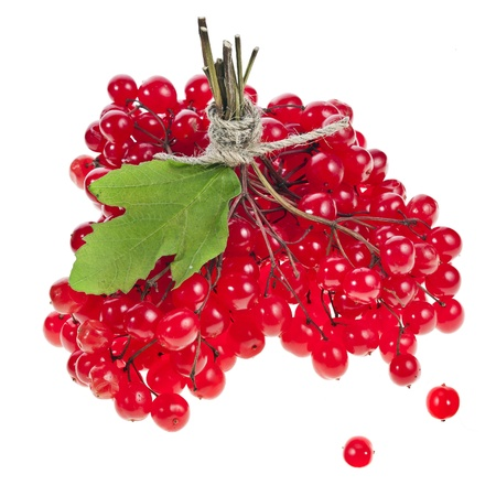 guelder: Red Berries of Viburnum  Guelder rose  isolated on white