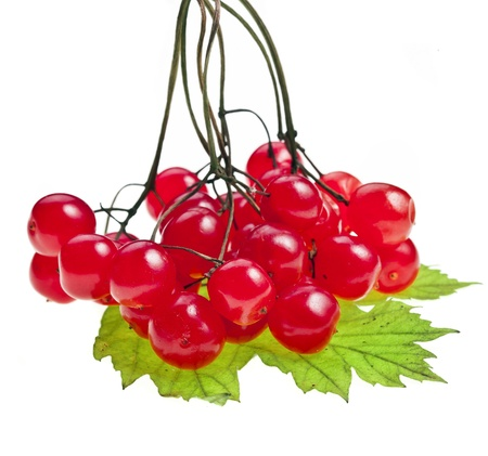 guelder: red berries of Viburnum  arrow wood , isolate on white Stock Photo