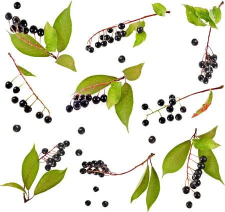 rosids: Collection set of bird cherry branch with berries isolated on a white background