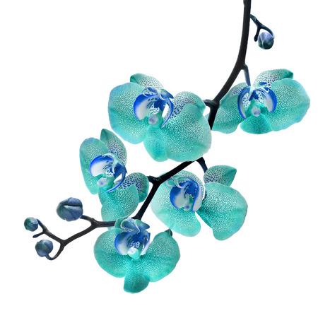 aqua flowers: Beautiful flower Orchid, blue phalaenopsis close up isolated on white background Stock Photo