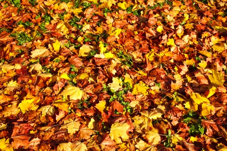 Autumn background from the fallen colorful leaves photo