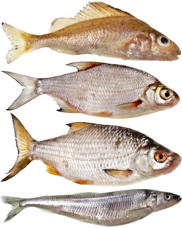 Collection set of different popular fresh river fish roach isolated on white background photo