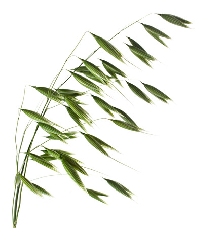 green oat plant closeup isolated on white background photo