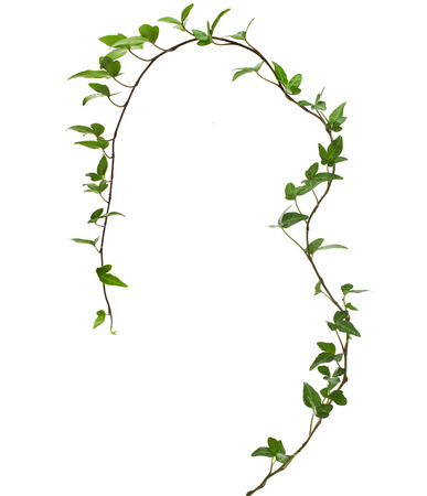 Border Frame made of Green climbing plant isolated on white background photo