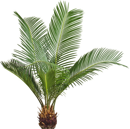 One Palm tree isolated on white background photo
